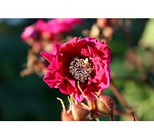 Flowering Raspberry Photographic Print