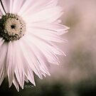 Fading away - Everlasting flower by Kell Rowe