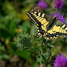Machaon by Jean-Luc Rollier
