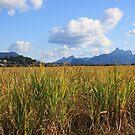 through the cane fields ... by gail woodbury