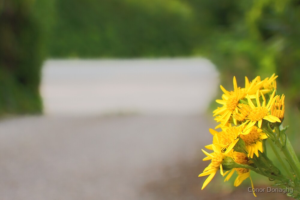 Common Ragwort by Conor Donaghy