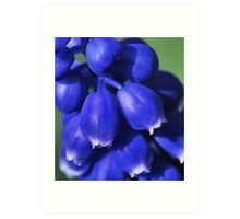 GRAPE HYACINTH CLOSEUP Art Print