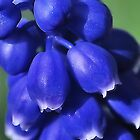GRAPE HYACINTH CLOSEUP by relayer51