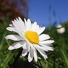 Daisies eye view by Conor Donaghy