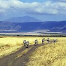 Zebra in Ngorongoro Crater, Tanzania, Africa by Bev Pascoe