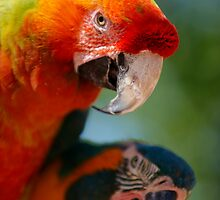 Colourful Parrots by raceman