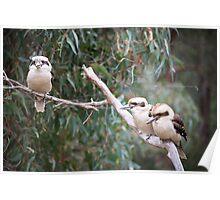 Kookaburra's sitting in the old gum tree Poster