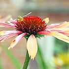 echinacea by liza scott