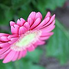 pink gerbera flower by liza scott