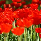 meadow with a large number of tulips by Valerii Kotulskyi