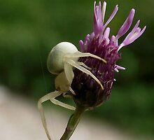 Crab spider by SophiaDeLuna
