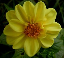Yellow Single Dahlia by AnnDixon