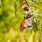 Brilliantly Colored Monarch Butterfly by W. Lotus