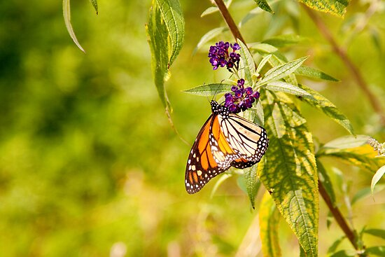 Monarch Butterfly - Purple Perch by wlotus