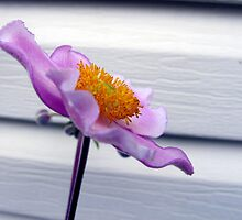 Japanese Anemone in 3D by RevJoc