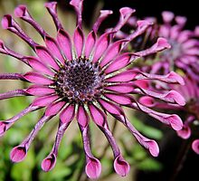 Osteospermum – 'Whirlygig' by Marilyn Harris