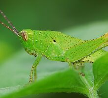 grasshopper by davvi