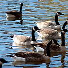 Geese waiting by kremphoto