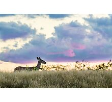 White-tailed Deer Sunset Photographic Print