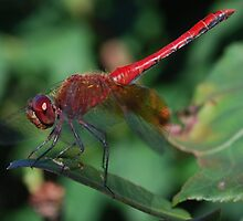 Red Dragonfly by TheDragonLady23