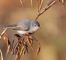 Blue-grey Gnatcatcher by naturalnomad