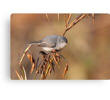 Blue-grey Gnatcatcher Canvas Print