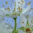 Flowering Plum by Gabrielle  Lees
