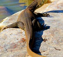 water monitor at bell gorge by nicole makarenco