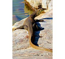 water monitor at bell gorge Photographic Print
