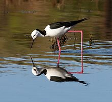 Pied Stilt Squared by Bill  Robinson