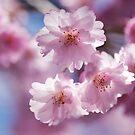 Sakura by Skye Hohmann