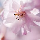 Sakura Detail by Skye Hohmann