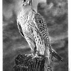Falcon by Ronny Hart