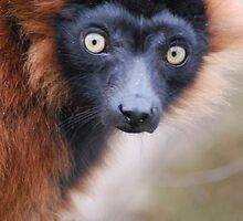 Red Ruffed Lemur by Lorna Mulligan