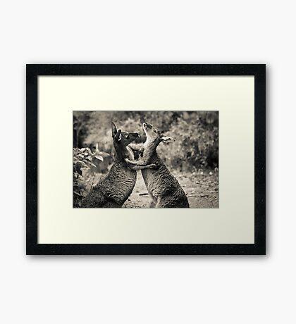 Fighting Kangaroo's, Perth hill's, Western Australia Framed Print