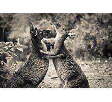 Fighting Kangaroo's, Perth hill's, Western Australia Photographic Print
