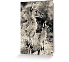 kanagroo's Perth Hill's, Western Australia Greeting Card