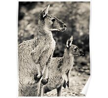 kanagroo's Perth Hill's, Western Australia Poster