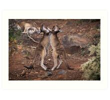 kangaroo's fighting, Perth hill's, Western Australia Art Print
