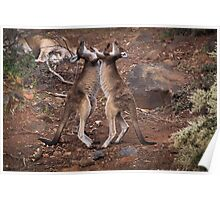 kangaroo's fighting, Perth hill's, Western Australia Poster