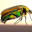 Beetle II by Cameron Hampton