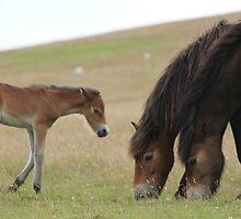 Exmoor Ponies by Mjay