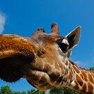 giraffe by MrZebra