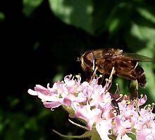 Hoverfly by SophiaDeLuna