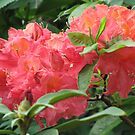 Rhododendron by orko