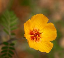 Arizona Poppy by Richard G Witham