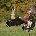 Harris Hawk by outwest photography.co.uk