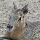 Pampas hare by orko