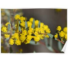 Boxed Leaf Wattle Poster