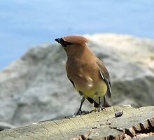 Waxwing by the Water by Veronica Schultz